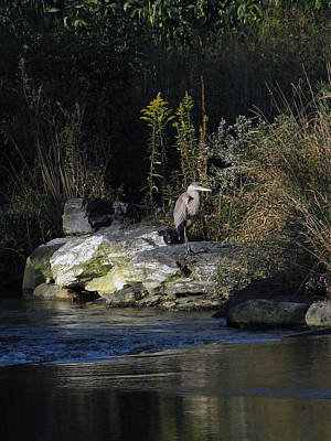 Rights Managed Images - Heron by a Stream Royalty-Free Image by Gary Adkins