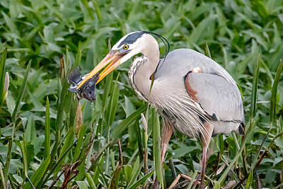 Photograph - Heron Catch by Phil Stone