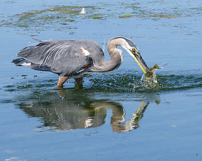 Photograph - Great Blue Heron Catches A Fish by Keith Boone