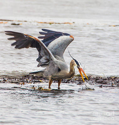 Photograph - Heron Chases Escaped Fish  No 2 by Bill Woodstock