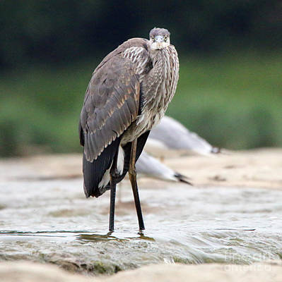 Winter Animals - Heron Checking out the Photographer  9118 by Jack Schultz