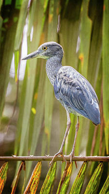 Photograph - Yellow-crowned Night Heron Costa Rica by Joan Carroll