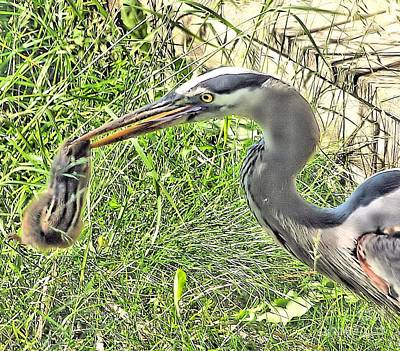 Photograph - Heron Eating Chipmunk by Debbie Stahre