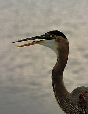 Photograph - Heron Eating Fish by Jeff Kurtz