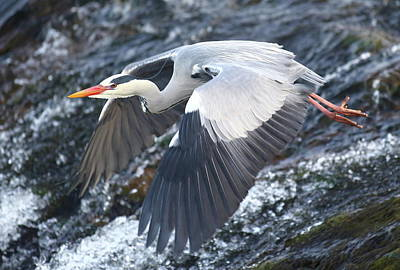 Digital Art - Heron - Fish Hunter by Pat Speirs