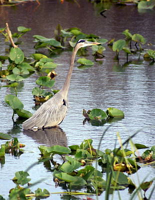 Heron Fishing In The Everglades Art Print by Marty Koch