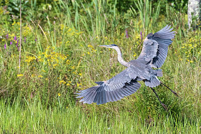 Photograph - Heron Flight by Bill Wakeley