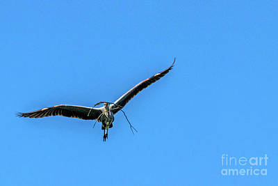 Photograph - Heron Flight by Kate Brown