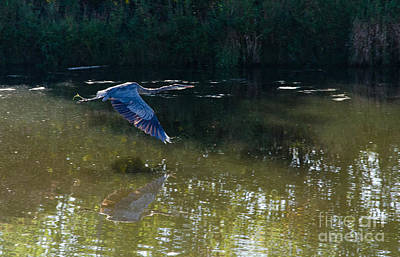 Photograph - Heron Flight by Laurel Best