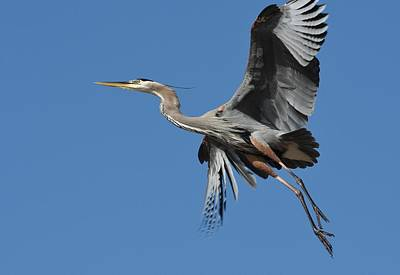 Photograph - Heron Fly By 2 by Fraida Gutovich