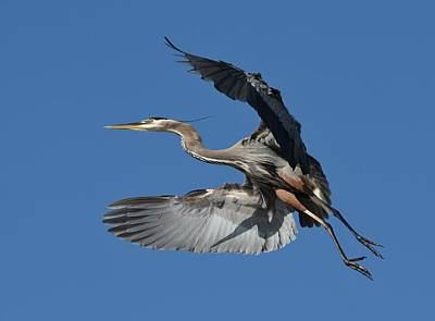 Photograph - Heron Fly By 3 by Fraida Gutovich