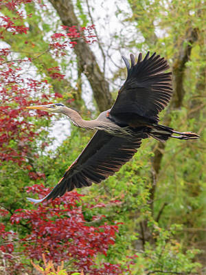 Photograph - Heron Fly-by by Keith Boone
