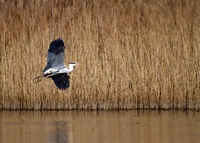Photograph - Heron Flying by Elenarts - Elena Duvernay photo
