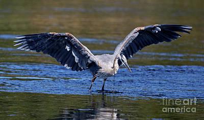 Photograph - Heron Full Spread by Sue Harper