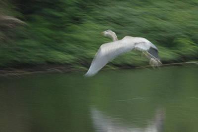 Photograph - Heron Glide by Karol Livote