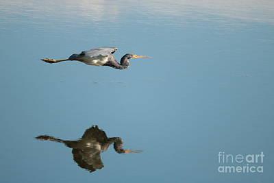 Photograph - Heron Glider by Carol Groenen