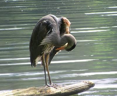 Photograph - Heron Grooming Himself by Karen Molenaar Terrell