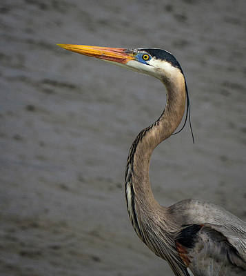 Photograph - Heron Headshot by Jean Noren