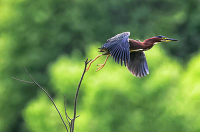Photograph - Heron Hop by Art Cole