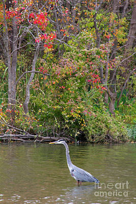 Photograph - Heron Hues by Alycia Christine