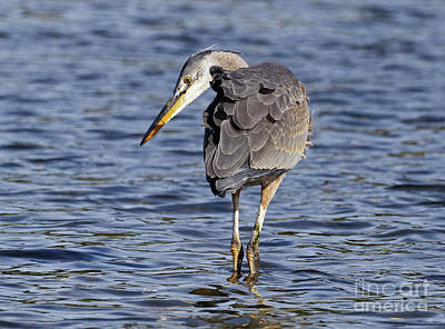 Photograph - Heron Hunt by Sue Harper