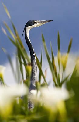 Arum Lily Photograph - Heron In Arum Lilies by Basie Van Zyl