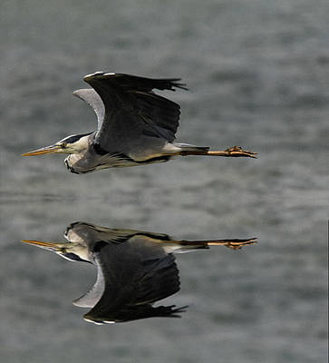 Photograph - Heron In Flight by Cliff Norton