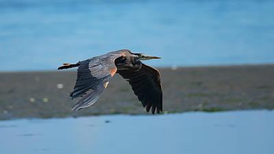 Photograph - Heron In Flight by Edward Kovalsky