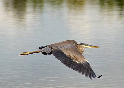 Photograph - Heron In Flight by Kathy Kelly