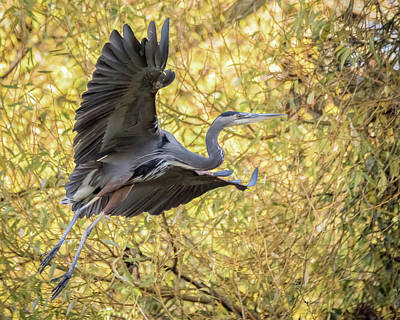 Photograph - Heron In Flight by Keith Boone