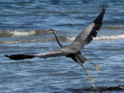 Photograph - Heron In Flight by Marcus Donner