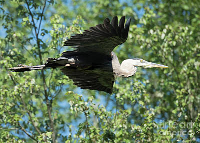 Food And Flowers Still Life Rights Managed Images - Heron in Flight Royalty-Free Image by Steven Natanson