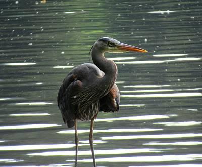 Photograph - Heron In Lake Padden by Karen Molenaar Terrell