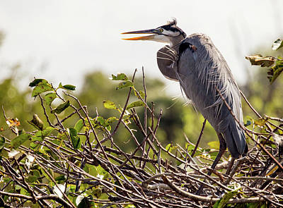 Photograph - Heron In Nest by Jim Gillen