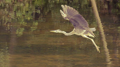 Photograph - Heron In Public Park F by Jacek Wojnarowski