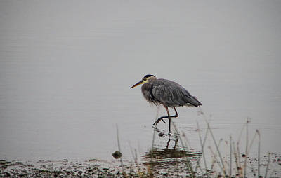 Photograph - Wading Heron by Marilyn Wilson