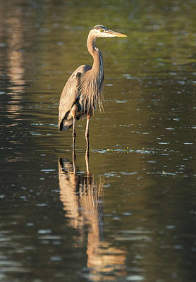 Photograph - Heron In Shallow Water by Loree Johnson