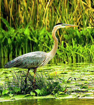 Photograph - Heron In Sight by Jeff Kurtz