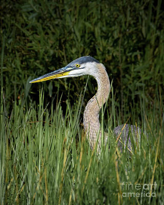 Photograph - Heron In The Grass by Amy Porter