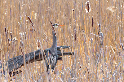 Photograph - Heron In The Reeds by Bill Wakeley