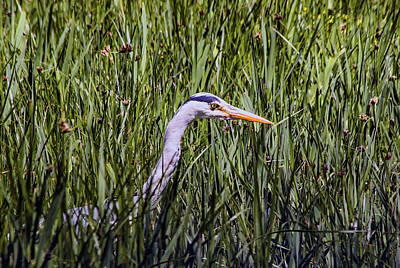 Science Collection - Heron In The Reeds by Jeff Townsend