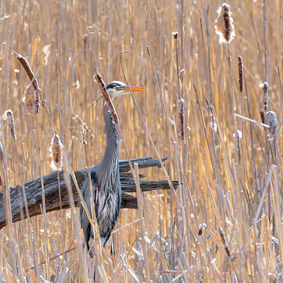 Photograph - Heron In The Reeds Square by Bill Wakeley