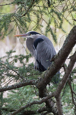 Photograph - Resting Heron by Marilyn Wilson