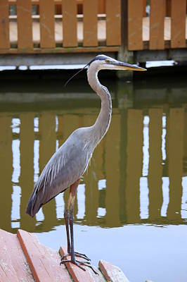 Photograph - Heron In Wait by Laurie Perry