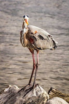 Photograph - Heron Indignation by Jean Noren