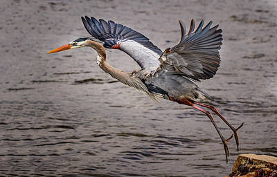 Photograph - Heron Lift Off by Jean Noren