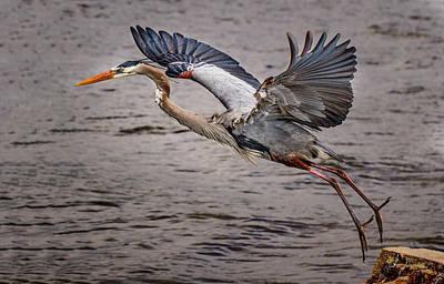 Heron Lift Off Art Print by Jean Noren