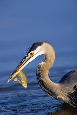 Photograph - Heron Lunch by Craig Strand