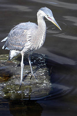 Impressionist Landscapes - Heron by Mitch Cat