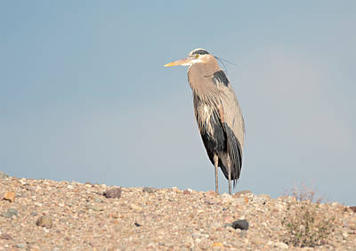 Photograph - Heron On A Hill by Loree Johnson